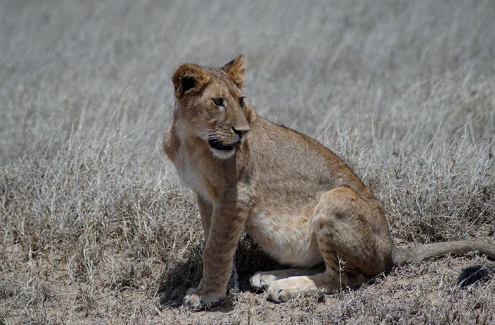 Cachorro de león en el Serengeti