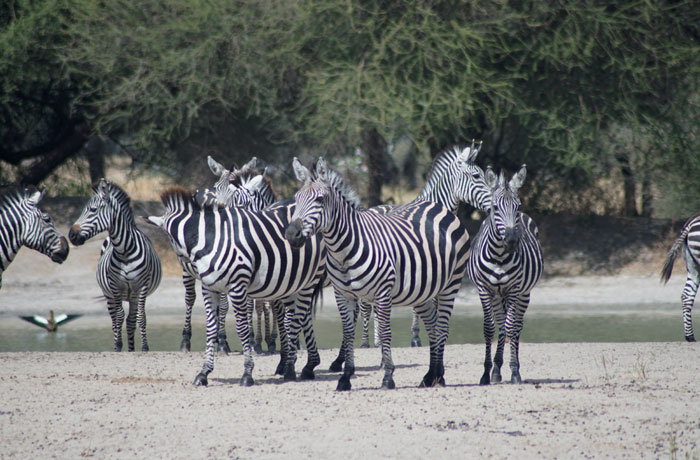 Cebras en Tarangire consejos safari en Tanzania