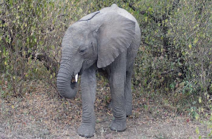 Cría de elefante en Lago Manyara