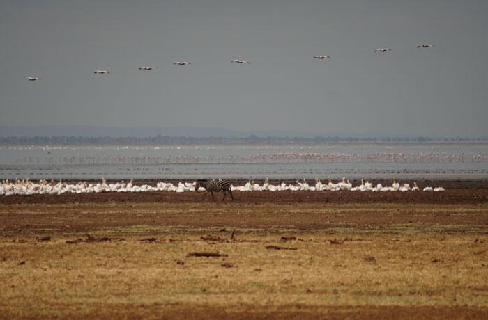 Flamencos y una cebra en Lago Manyara