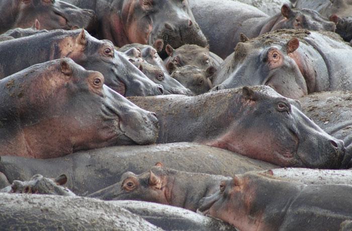 'Hippo pool' del Serengeti consejos safari en Tanzania