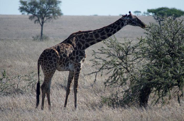 Una jirafa comiendo en el Serengeti