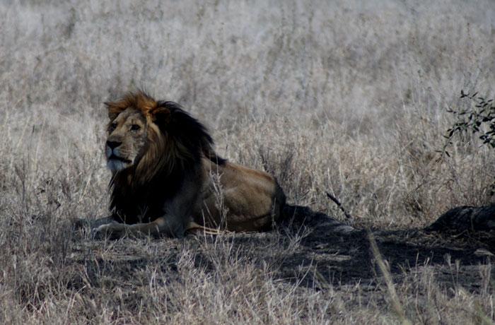 Un león adulto en el Serengeti