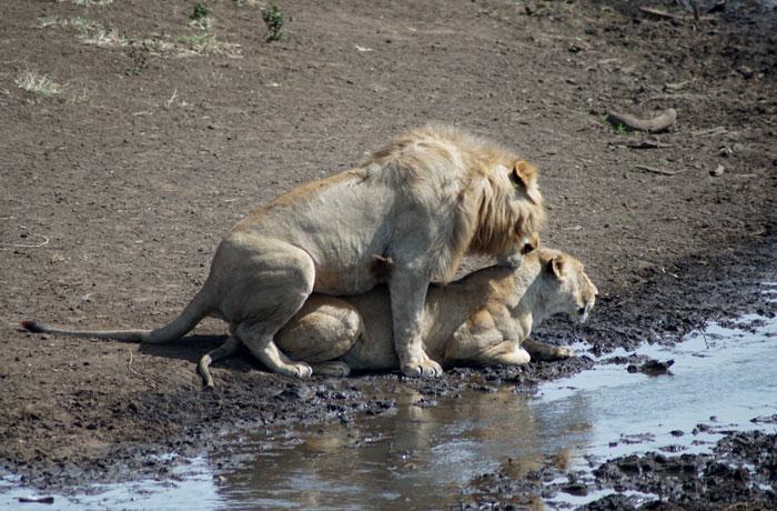 Una pareja de leones, de luna de miel en Ngorongoro