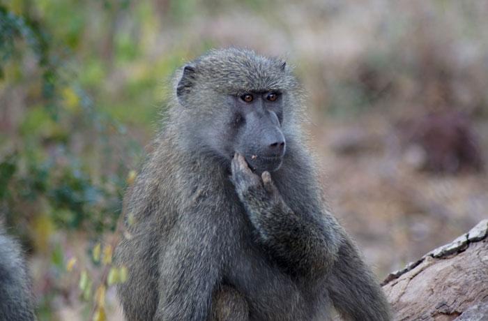 Mono en Lago Manyara