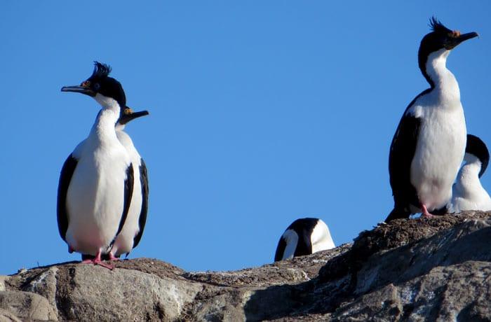 Cormoranes reales en el canal Beagle que hacer en Ushuaia