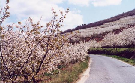Cerezos en flor en Fundão