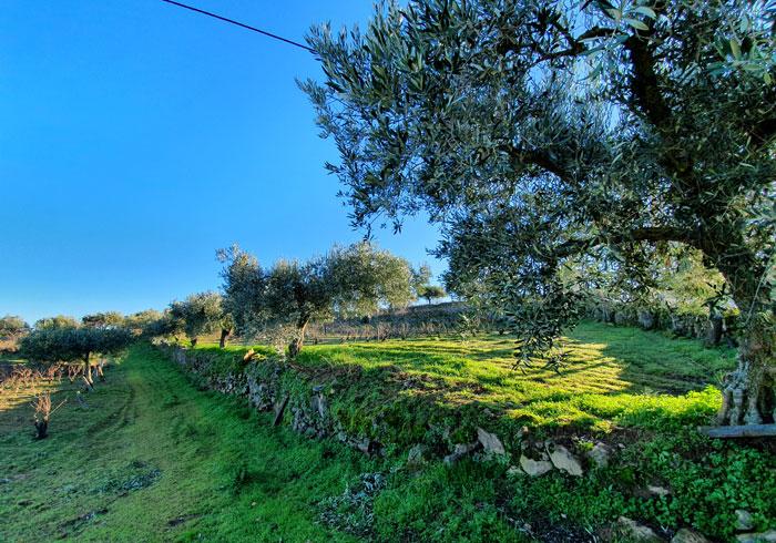 Olivos en el entorno de las Casas do Juizo